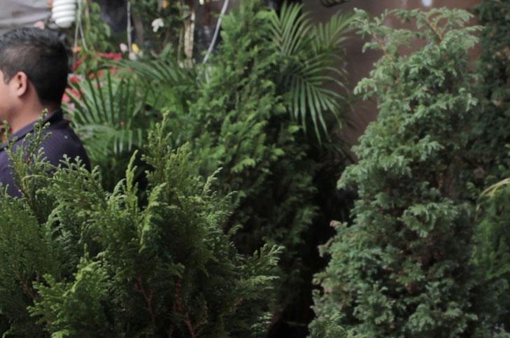 Rboles De Navidad Naturales. Rboles De Navidad Naturales. X Rboles ...