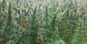 mariguana-erongaricuaro