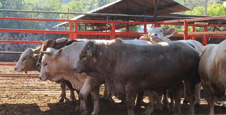 ganado-rastro