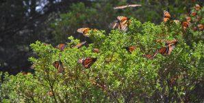 mariposa-monarca8